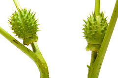 Two thorn-apple friends meet royalty free stock image