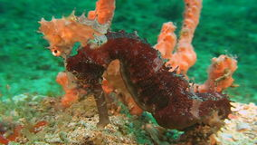 Two Thorny Seahorses. Close up stock video