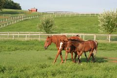 Two Thoroughbred weanlings follow their mentor, a retired racehorse. Two Thoroughbred colts stay close beside their minder, as they explore a pasture on a sunny Stock Photography