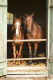 Two thoroughbred foals in stable door. Horses in the barn Royalty Free Stock Photos
