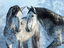 Two thoroughbred gray horses in winter forest on a blue sky back Royalty Free Stock Images