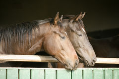 Two thoroughbred horses looking over stable door Royalty Free Stock Image