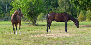 Two thoroughbred horses in paddock Stock Image