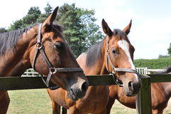 Two Thoroughbred mares. Two bay Thoroughbred mares in Newmarket Stock Photography