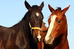 Two Thoroughbreds Royalty Free Stock Photos