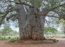 Two thousand year old baobab tree Royalty Free Stock Photo