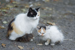 Two three-colored cat Royalty Free Stock Photography
