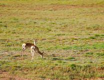 Two tibetan gazelles Stock Photos