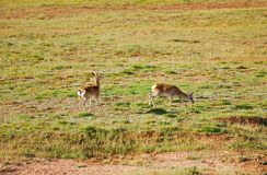 Two tibetan gazelles Royalty Free Stock Image