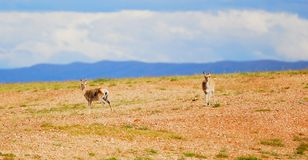 Two Tibetan gazelles Royalty Free Stock Photography