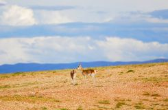 Two Tibetan gazelles Stock Photography