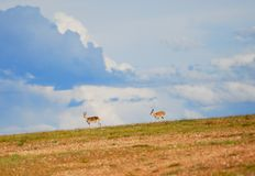 Two Tibetan gazelles Royalty Free Stock Photos
