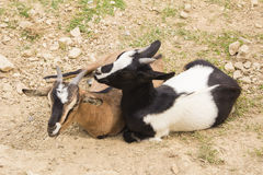 Two tibetan goats Stock Photo