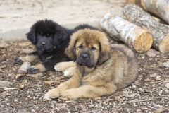 Two Tibetan Mastiff puppies. Two cute Tibetan Mastiff puppies lying on ground Royalty Free Stock Images