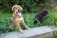 Two Tibetan mastiff puppy outdoors Stock Photography
