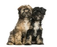 Two Tibetan Terrier, 4 months old, sitting and facing stock photography