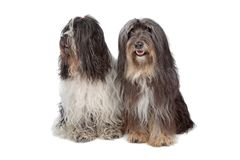 Two Tibetan Terrier dogs. Isolated on white Royalty Free Stock Photos