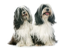 Two Tibetan terrier. In front of white background Stock Image