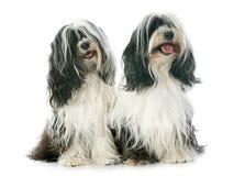 Two Tibetan terrier Stock Image