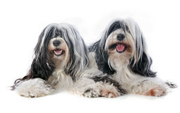 Two Tibetan terrier. In front of white background Stock Photo