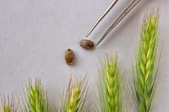 Two of the tick , filled with blood on white paper next to the g Royalty Free Stock Photo
