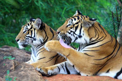 Two tiger Royalty Free Stock Photography