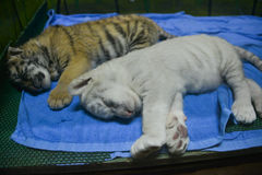 Two tiger cubs Royalty Free Stock Photo