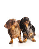 Two tiger dachshund Royalty Free Stock Photography