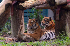 Two tiger Stock Photo