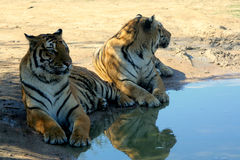 Two tiger are sitting by the pool Stock Photos