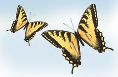 Two Tiger Swallowtail Butterflies Stock Photography