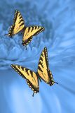 Two Tiger Swallowtail Butterflies Stock Photo
