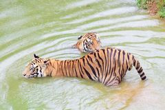 Two tiger in water playing stock images
