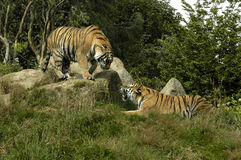 Two Tigers. Playing at a wildlife park Stock Photography