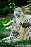 Two Tigers Royalty Free Stock Photos