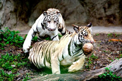 Two Tigers Royalty Free Stock Photo