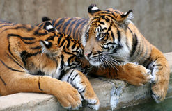 Two Tigers. Two young tigers sitting next to one another, affectionate Royalty Free Stock Photo