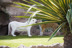 Two tigers royalty free stock image