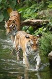 Two tigers Stock Image
