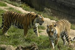 Two tigers. At dartmoor wildlife park uk Stock Images