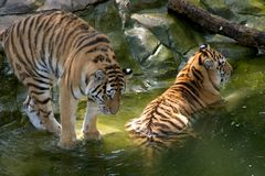 Two tigers cooling off in pond. Tigers at the Apple Valley Zoo, Minnesota Royalty Free Stock Images