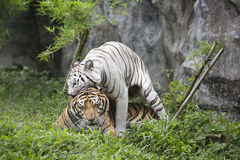 Two tigers. Couple of tigers playing on grass Stock Photo