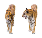 Two tigers cutout. Two Bengal tiger poses isolated on white Royalty Free Stock Image