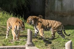 Two tigers fight in a zoo. In italy royalty free stock image