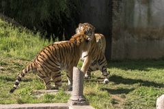 Two tigers fight in a zoo. In italy stock photo