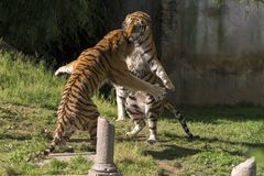 Two tigers fight in a zoo. In italy royalty free stock images