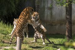 Two tigers fight in a zoo. In italy stock images