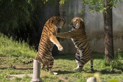 Two tigers fight in a zoo. In italy royalty free stock photo