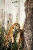 Two tigers fight in a zoo. In italy stock photos
