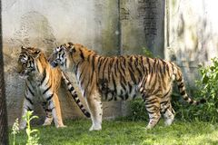 Two tigers fight in a zoo. In italy royalty free stock photos